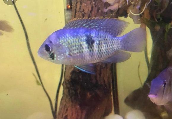 Blue Acara Cichlid