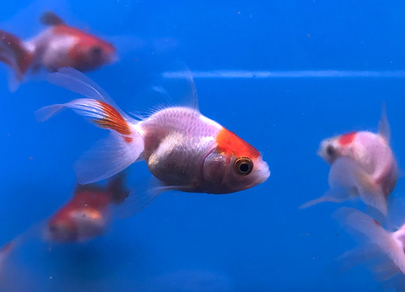 Small Red and White Fantail 3-4cm