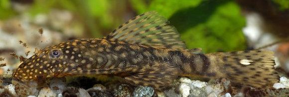 Ancistrus Plecostomus