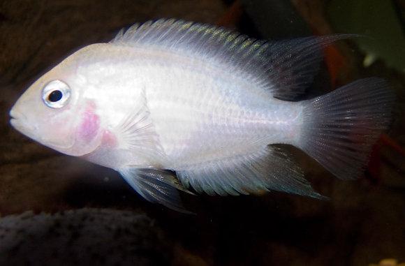 Albino Convict Cichlid