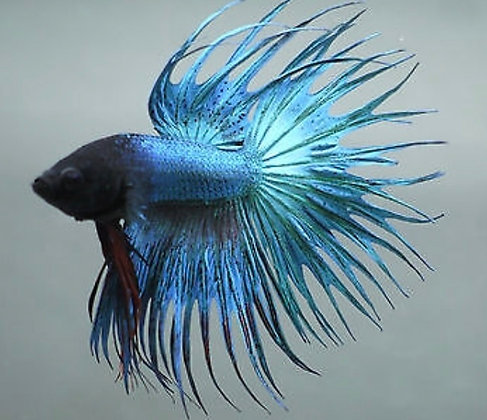 Green Male Crowntail Siamese Fighter