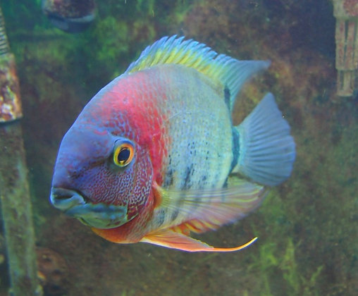 Red Head Rotkeil Severum Cichlid