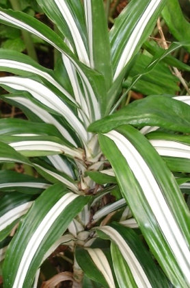 Bunched-Striped Dracena