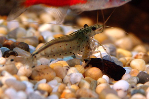 Amano Japonica Shrimp