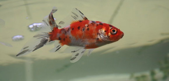 """5-6"""" Shubunkin Goldfish"""