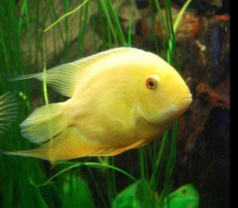 Gold Severum Cichlid