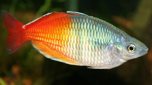 Boesmani Rainbow