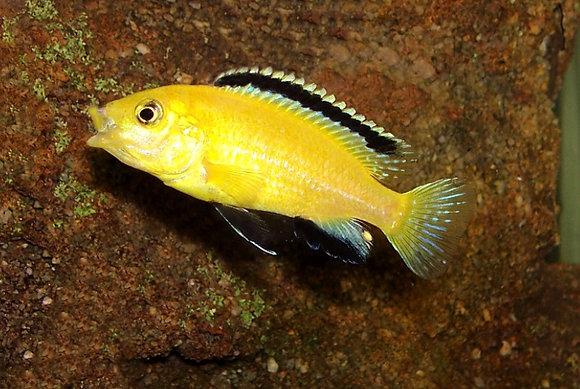 Yellow Black Back Malawi Cichlid