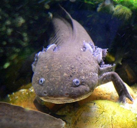 Brown Axolotl