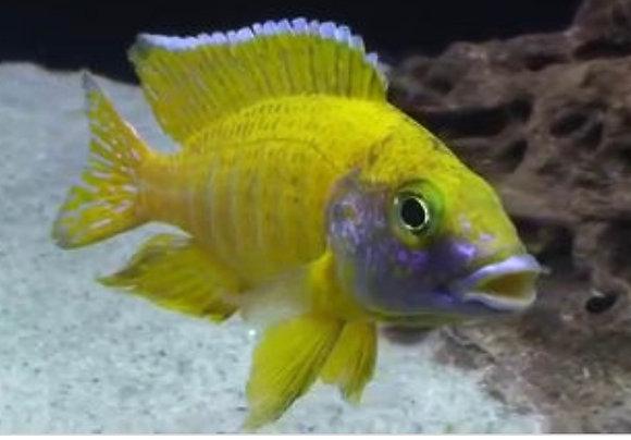 Yellow Peacock Aulonocara Cichlid