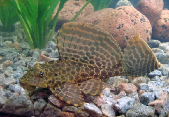 Gibbiceps/Sailfin 8cm Plecostomus