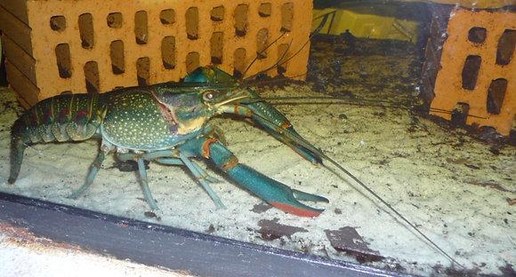 Red Claw Blue Crayfish