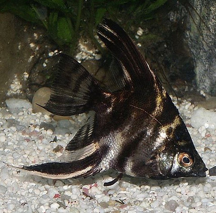 Marble Angelfish 7-8cm