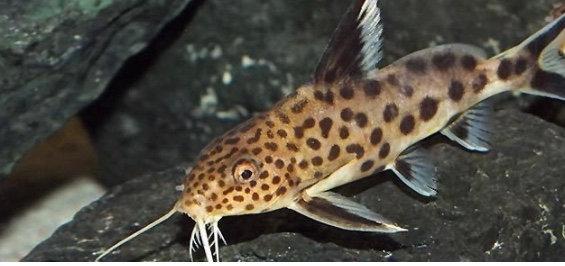 Multipunctatus Synodontis Catfish