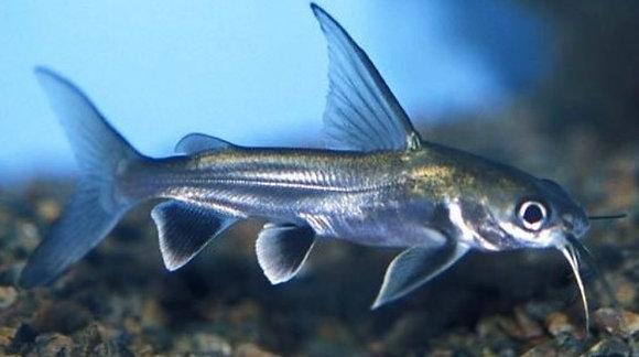 Shark Catfish