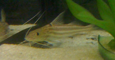 Four Lined/Pyjama Pictus Catfish