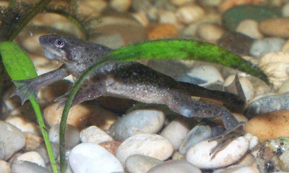 Brown Aquatic Frog