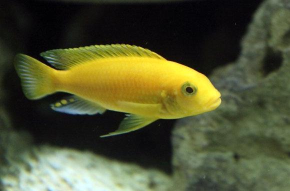 Yellow Malawi Cichlid