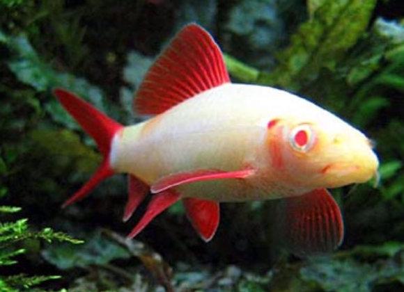 Albino Red Finned Shark