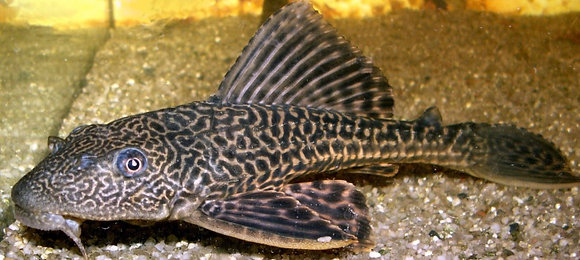 Plecs-Common 13-16cm
