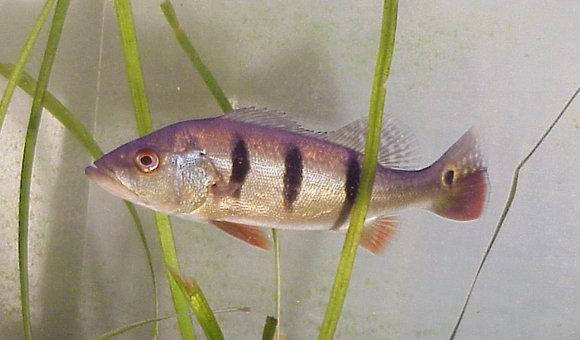 Peacock Bass Cichlid