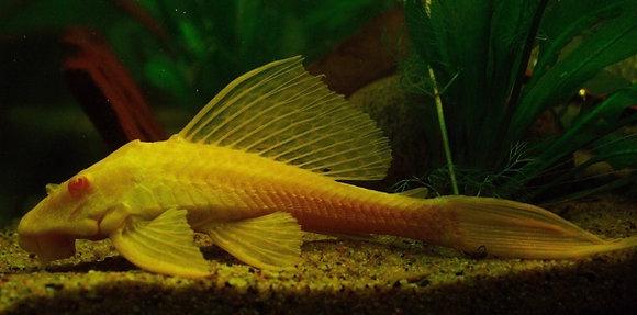 Golden Gibbiceps Plecostomus