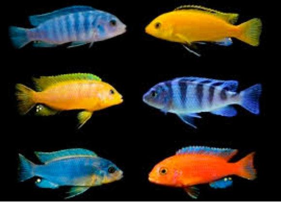 X10 Assorted 3-4cm Malawi Cichlid