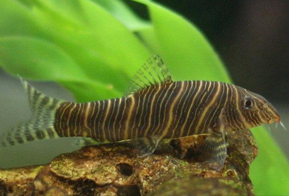 Zebra Striata Botia