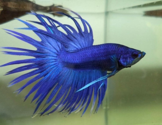 Blue Male Crowntail Siamese Fighter
