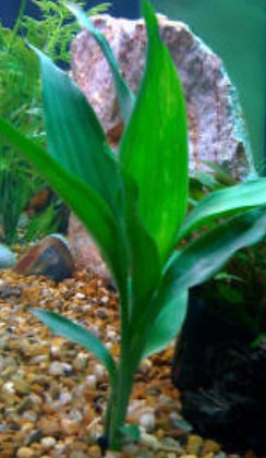 Bunched-Green Dracena