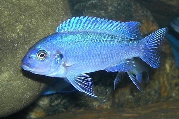 Ice Blue Malawi Cichlid