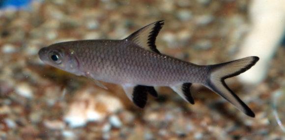Silver Shark 8-10cm