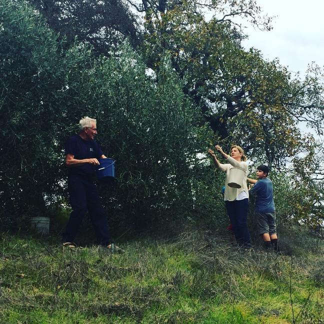 Family picking olives on the Vineyard