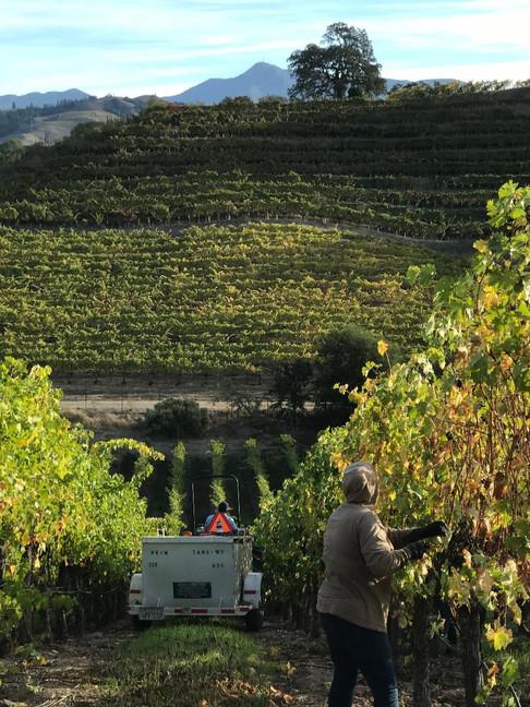 Vineyard Rows at Harvest