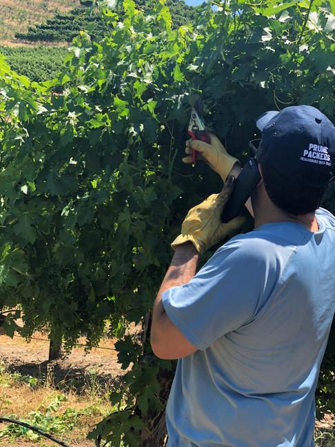 Sam Newman works in the Vineyard
