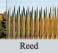 Reed_edited.jpg