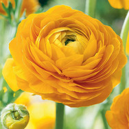 Ranunculus_Yellow.jpg