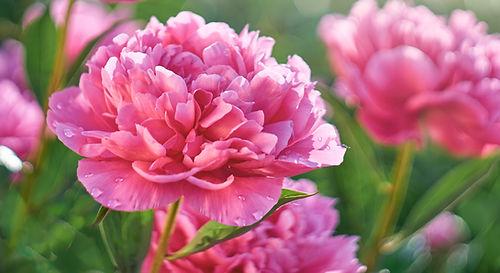 Peony_pink_shutterstock_1138415099.jpg