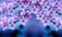 cherry-blossom-hd-wallpaper-3.jpg