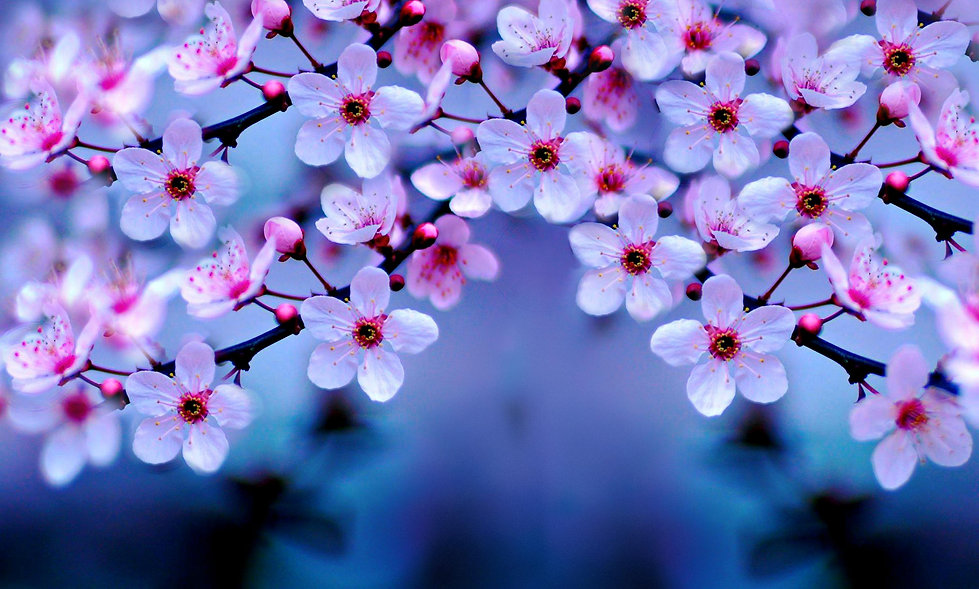 cherry-blossom-hd-wallpaper-3.jpg