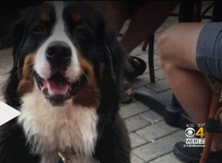 CBS Boston: 'Pet Detective' Called In To Search For Rockland Dog Spooked By Fireworks