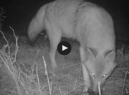 NBC 10 Providence: Coywolves: A threatening predator is lurking in RI, MA backyards