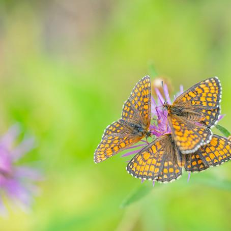 Vlinders in Zweden