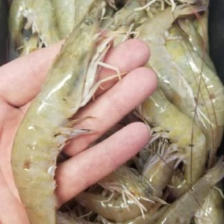 FRESH JUMBO Bay Shrimp - with Heads - Wild caught in Texas waters