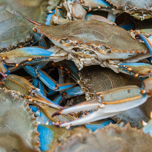 Matagorda Bay Blue Crabs - WHOLE CRAB - FRESH, LIVE