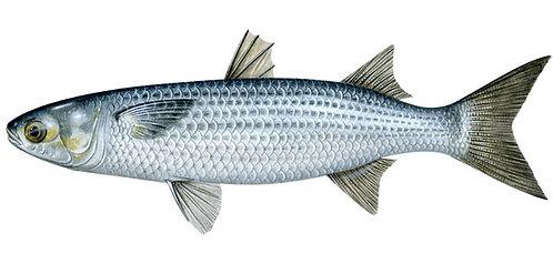 Matagorda Bay Silver Mullet - WHOLE FISH - FRESH