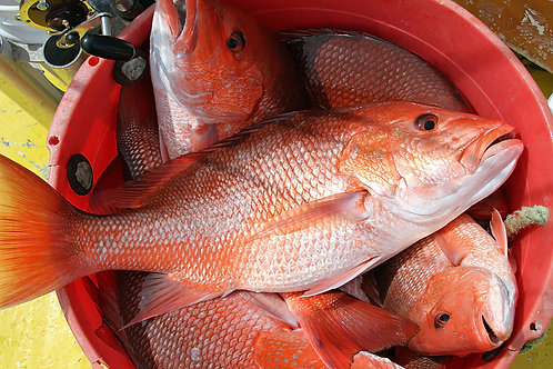 Gulf Red Snapper - WHOLE FISH - Frozen