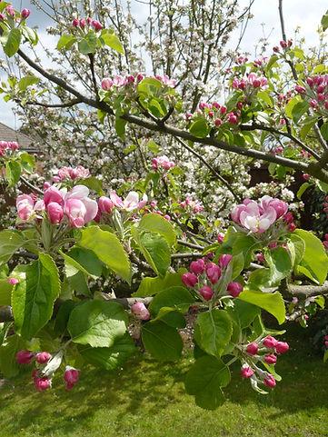 HMJ blossom; Royal Somerset in backgrnd May10.JPG