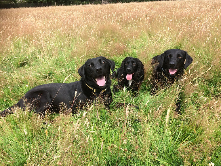 Three dogs (two black Labradors and one black cocker spaniel) lying in the grass looking happy