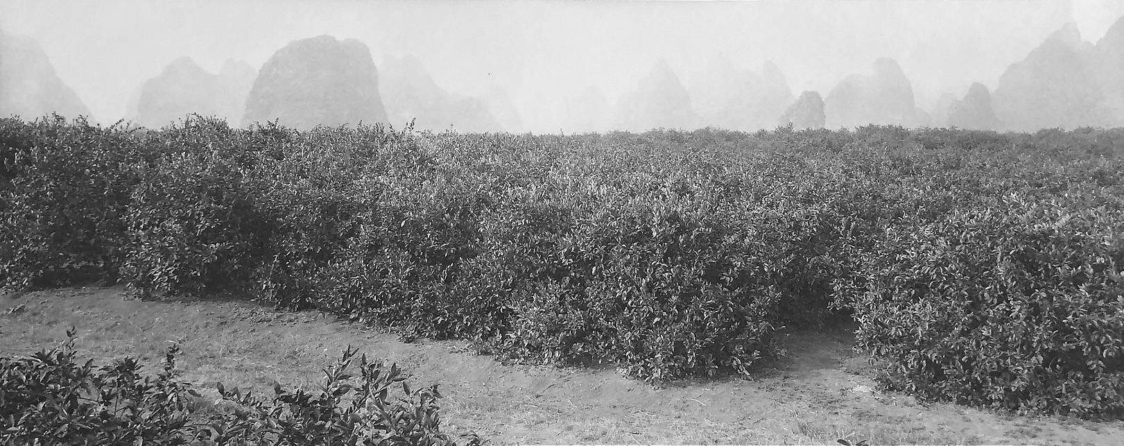 CH93863_Mandarin orange fields_Guangxi